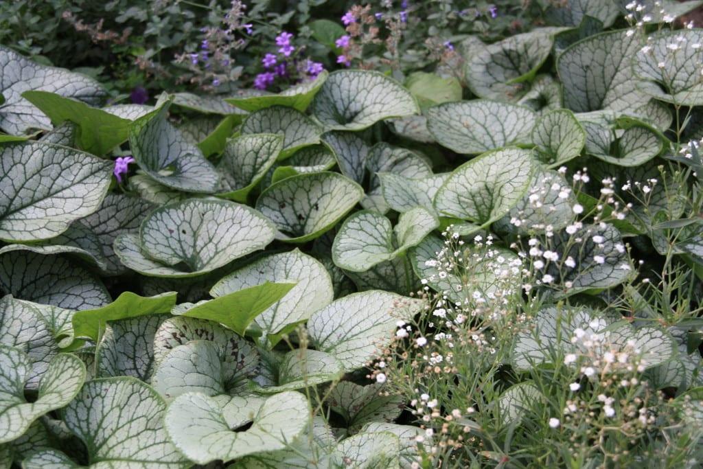 Groene-stadstuin-planten-brunnera-jack-frost