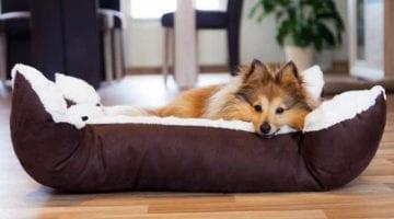 Hond op hondenkussen